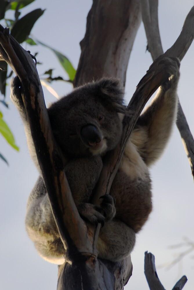 koala by stiddy