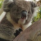 Koala (Phascolarctos cinereus) - Horsnell Gully, South Australia by Dan & Emma Monceaux
