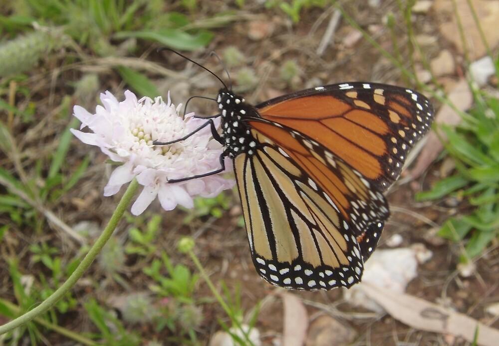 Wanderer Butterfly (Danaus plexippus) - Horsnell Gully, South Australia by Dan Monceaux