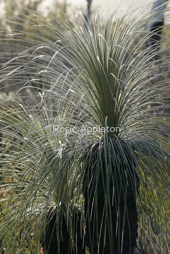 Kingia (Kingia australis) by Rosie Appleton
