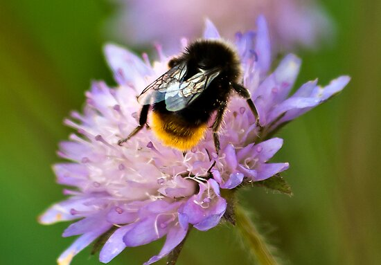 Collecting Nectar by Trevor Kersley