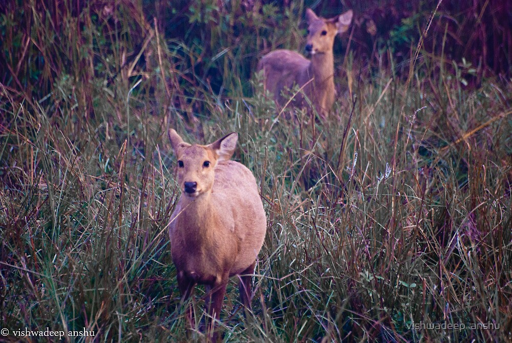swamp deer by vishwadeep  anshu