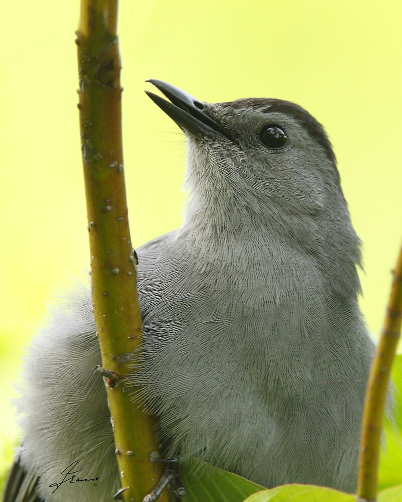 The Profile Of A Catbird by DigitallyStill