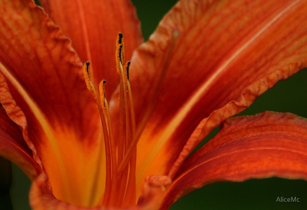 Up Close And Personal To The Stamens by AliceMc