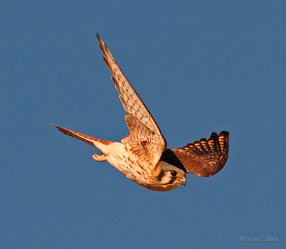 121110 American Kestrel by Marvin Collins