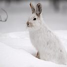 Varying Hare by Alain Turgeon