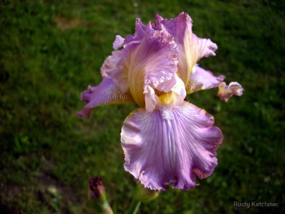 Frilly Iris by Rusty Katchmer