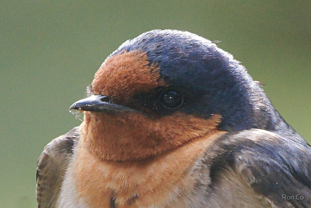 Crop of Welcome Swallow check the beak contents by Ron Co