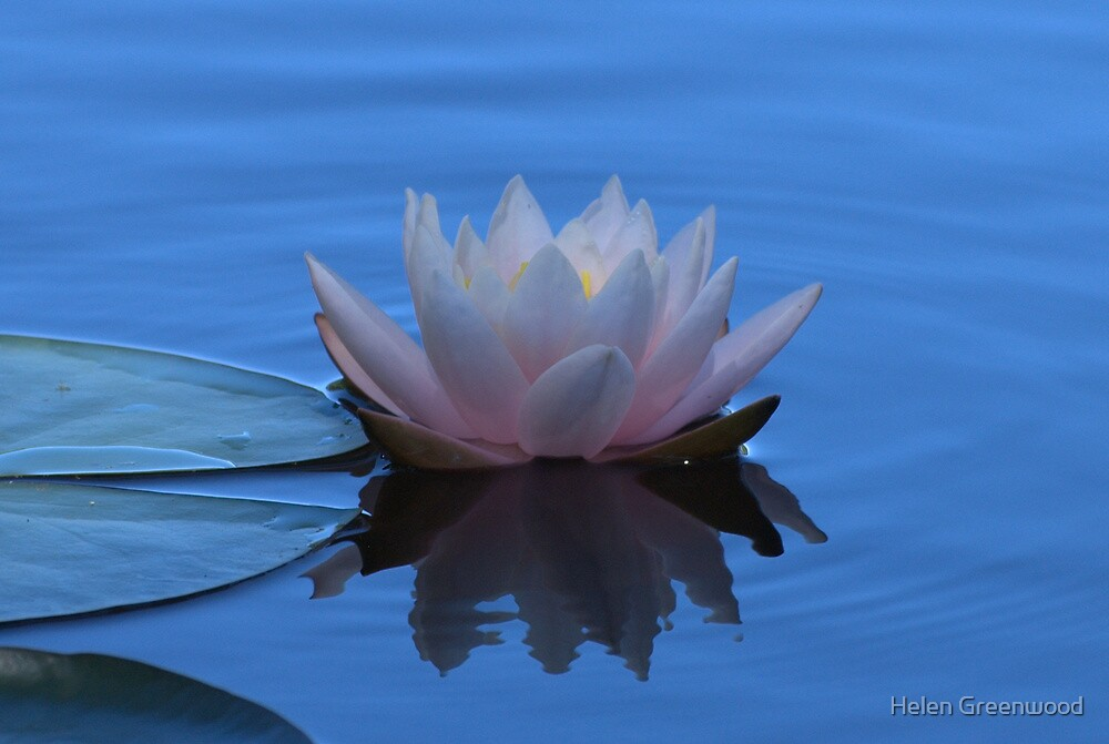 Water Lily by Helen Greenwood