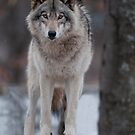 Wolves by COOLWildlife.com by Bill Maynard