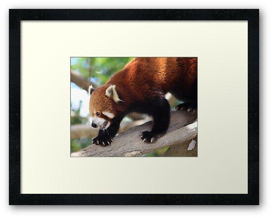 Red Panda by smallan