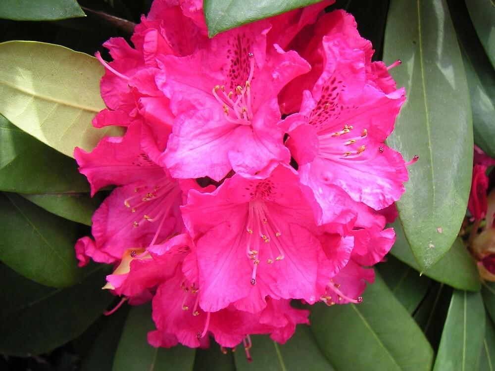 National rhododendron gardens 1 by Ian McKenzie