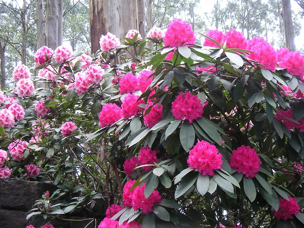 National rhododendron gardens 2 by Ian McKenzie