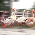 """Wild Goose Chase"" - geese running wild by ArtThatSmiles"