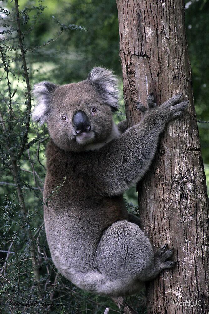 Local Koala by WendyJC