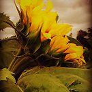 Sunflower  by TheTeaFairy