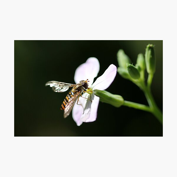 Hoverfly 2 Photographic Print