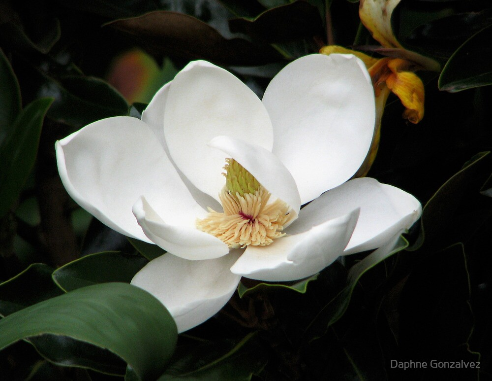 Magnolia by Daphne Gonzalvez