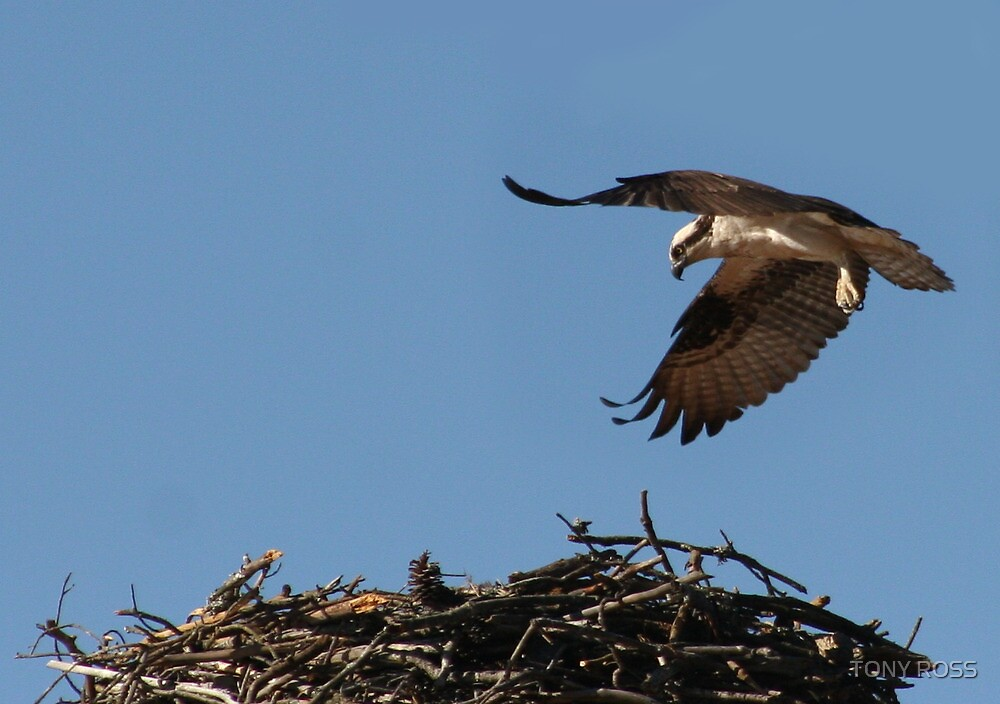 Osprey Coming Home by TONY ROSS