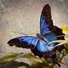 Ulysses Butterfly by Scott Carr