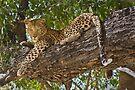 Leopard nap time by Neville Jones