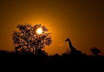 Early morning Giraffe silhouette, Moremi Game Reserve Botswana by Neville Jones