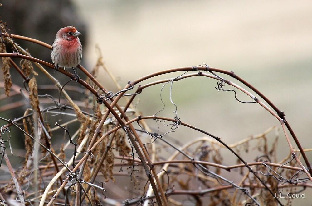 Bramble Finch by J. L. Gould