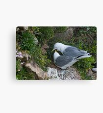 kittiwake courtship, Saltee Island, County Wexford, Ireland Canvas Print