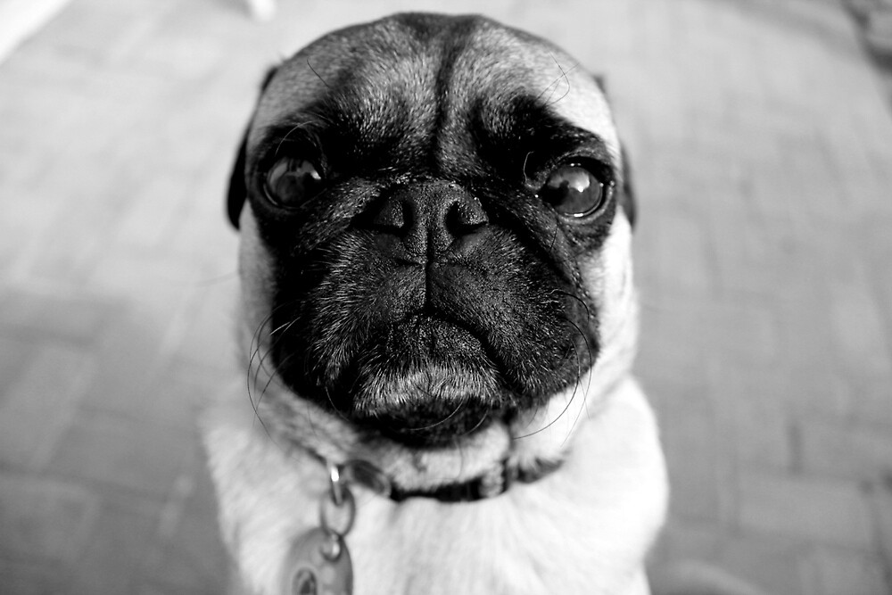 Walter the Pug by To-Bee-Nanalee
