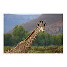 South Africa - Aquila - graceful giraffe by renprovo