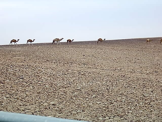 Camels in the desert by dizzyshell42