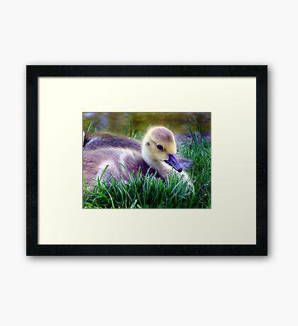 Gosling Framed Print