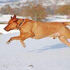 Fox Red Labrador In Action by Mark Bateman