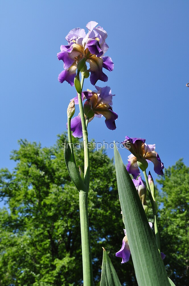 Tallest Iris by smalletphotos
