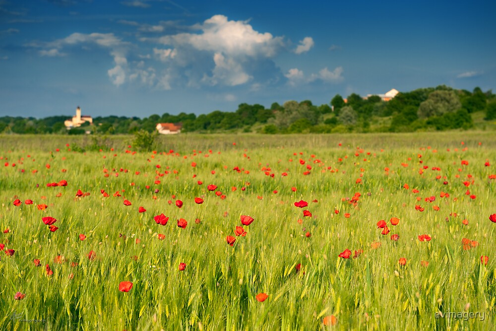 Red poppies on green wheat field. by evimagery