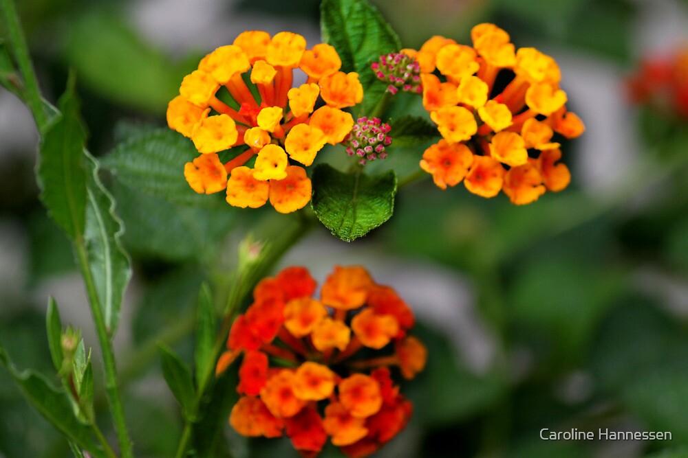 Orange Flowers  by Caroline Hannessen