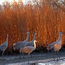sandhill cranes, Patterson Lake, Chelsea by Mary Westhoff