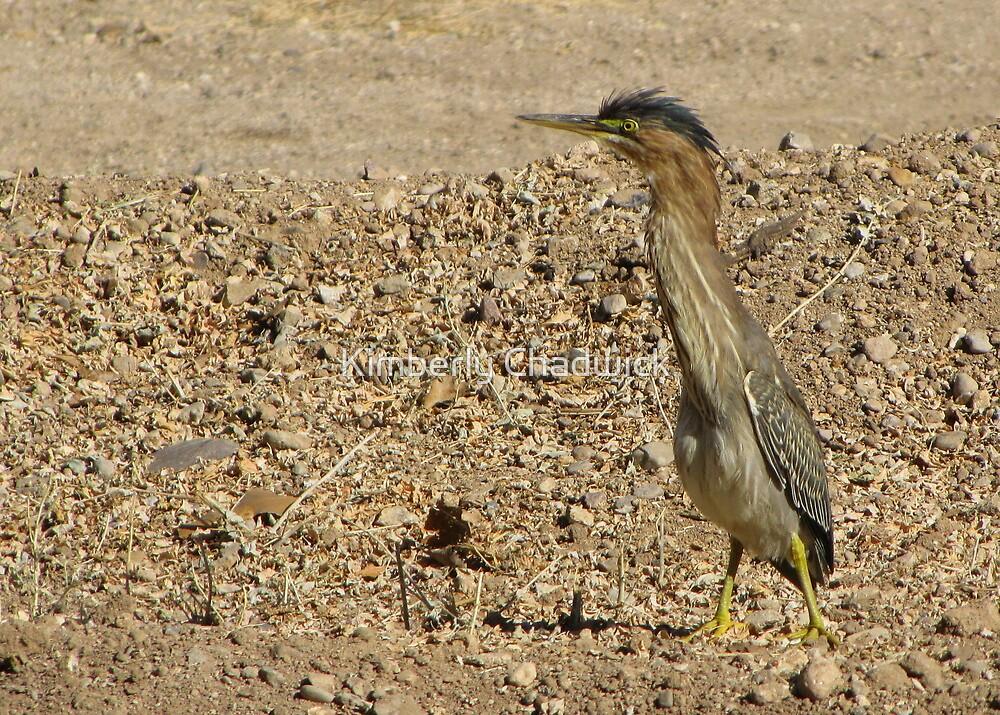 Green Heron (Juvenile) by Kimberly Chadwick