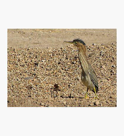 Green Heron (Juvenile) Photographic Print