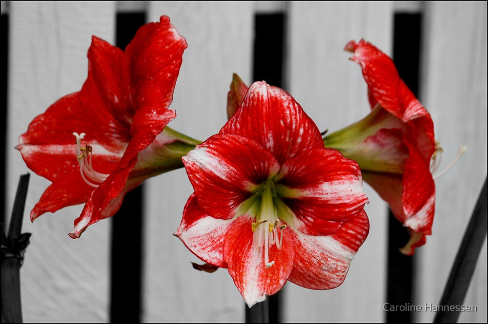 Red Flowers by Caroline Hannessen