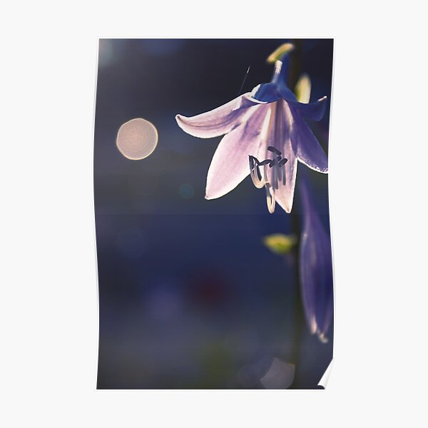 hippeastrum - - let there be light Poster