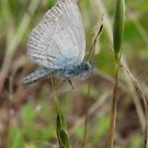 Common Grass Blue Butterfly (Zizina labradus) - Horsnell Gully, South Australia by Dan & Emma Monceaux