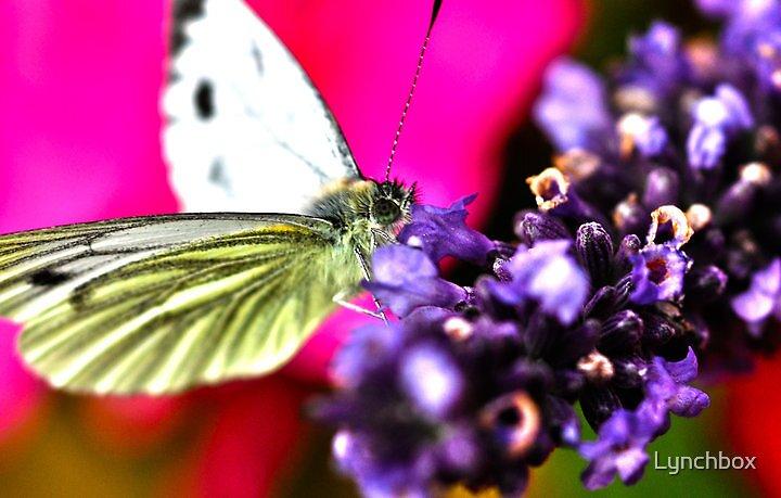 Butterfly by Lynchbox