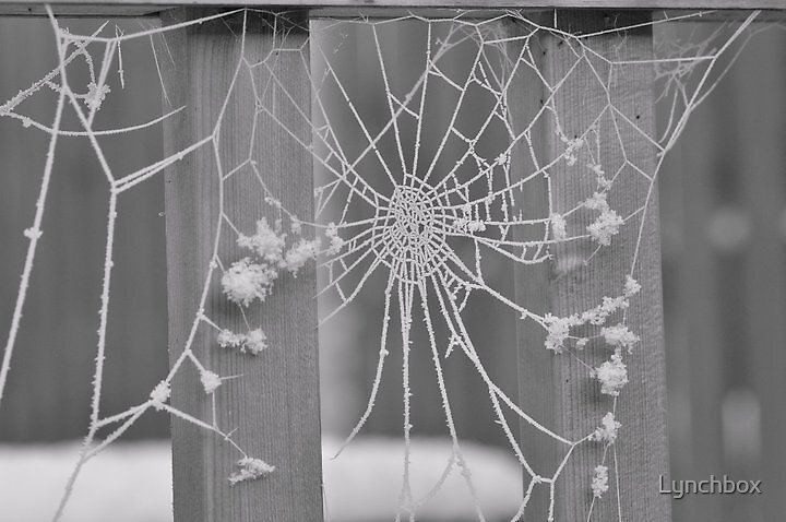 Spiders web in snow by Lynchbox