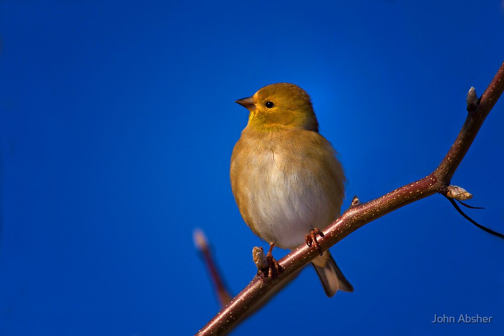 Curious Yellow - American Goldfinch by John Absher