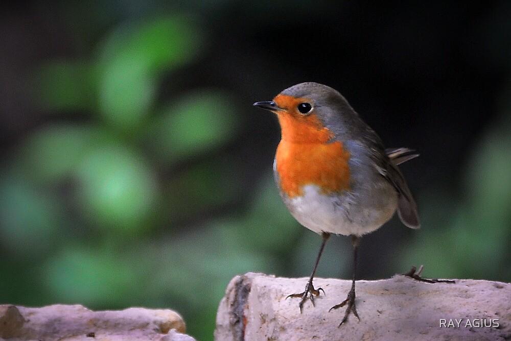 Robin by RAY AGIUS