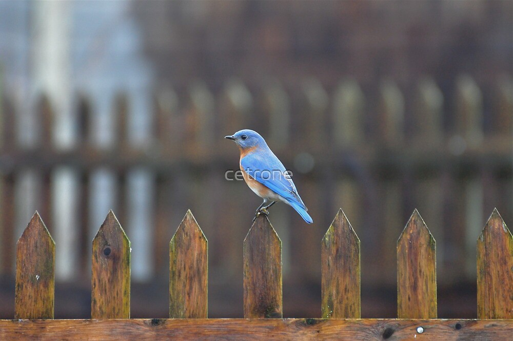 male bluebird on fence by cetrone
