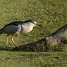 Black-crowned Night Heron Climbing to Its Lookout spot by Gerda Grice
