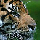 Sumatran Tiger Jae Jae by Sheila Smith