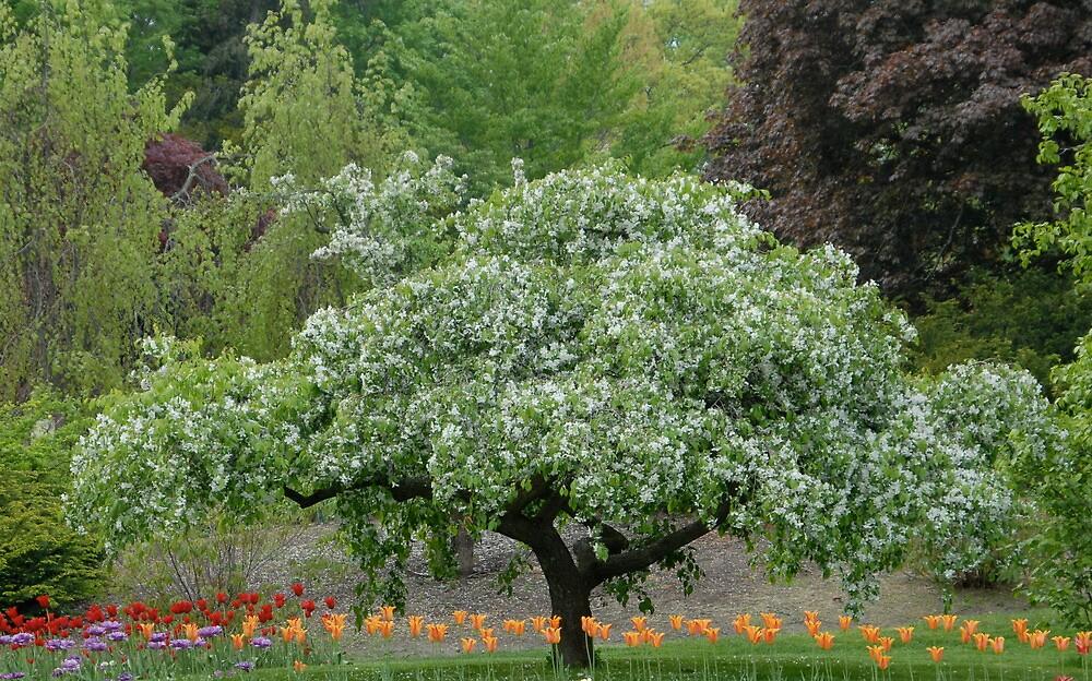 Dogwood and tulips, Dow Gardens, Midland,MI\